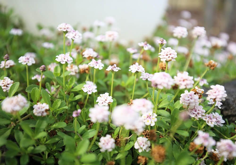 イワダレソウの花畑