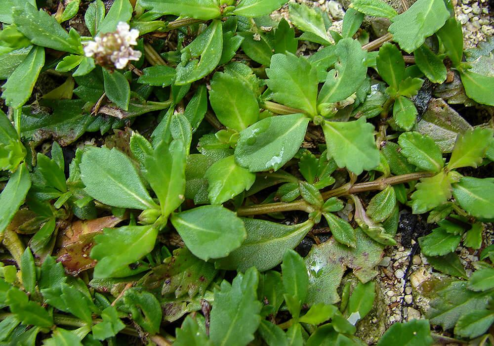 イワダレソウの葉茎