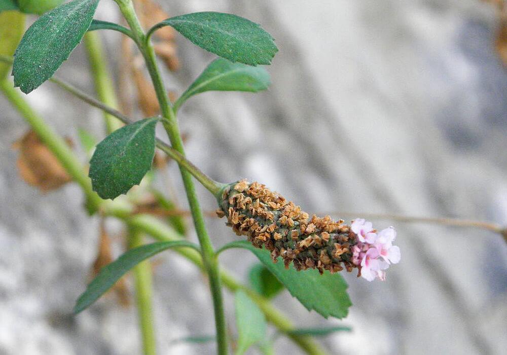 イワダレソウの花序