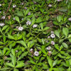 イワダレソウの植物図鑑と育て方