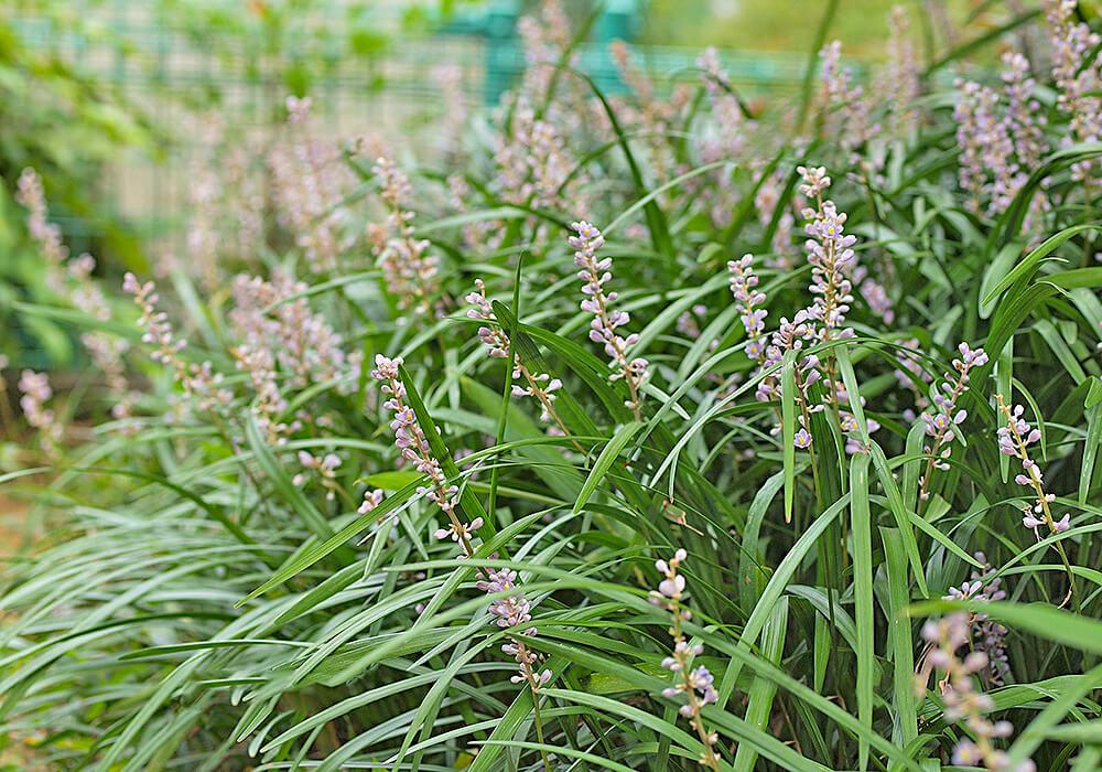 ジャノヒゲの花