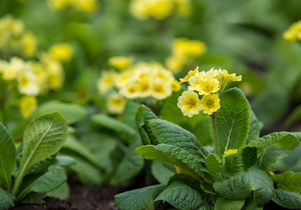 プリムラジュリアンの黄色い花