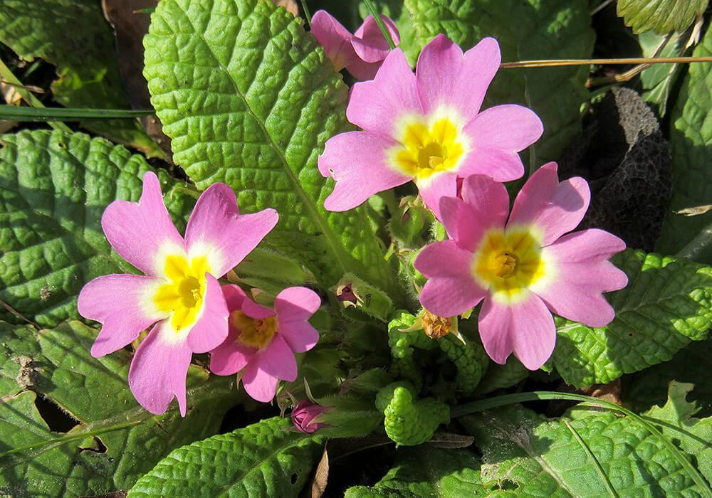 プリムラジュリアンのピンクの花