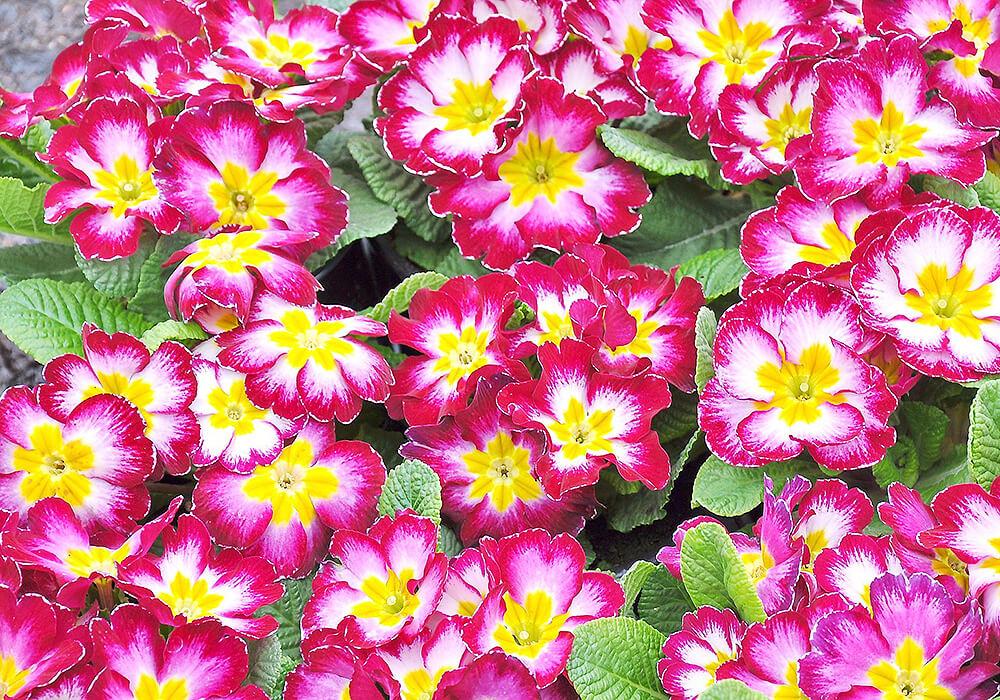 プリムラジュリアン複色の花