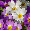 プリムラジュリアンの植物図鑑と育て方