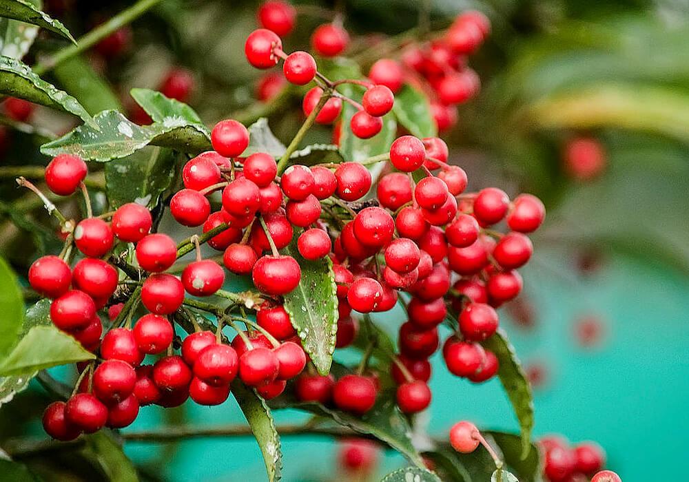 カラタチバナの赤い果実