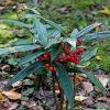 カラタチバナの植物図鑑と育て方