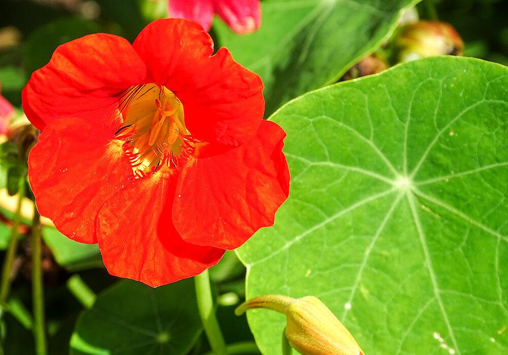 キンレンカの赤い花