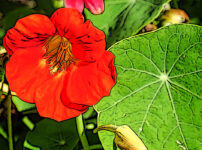 キンレンカの植物図鑑と育て方