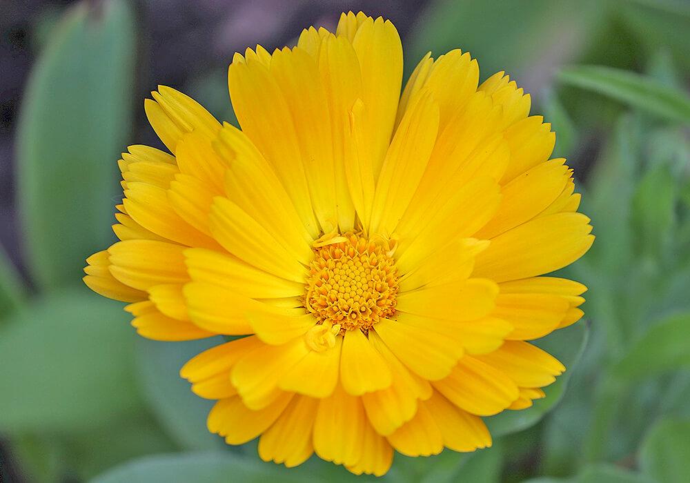 キンセンカの黄色い花