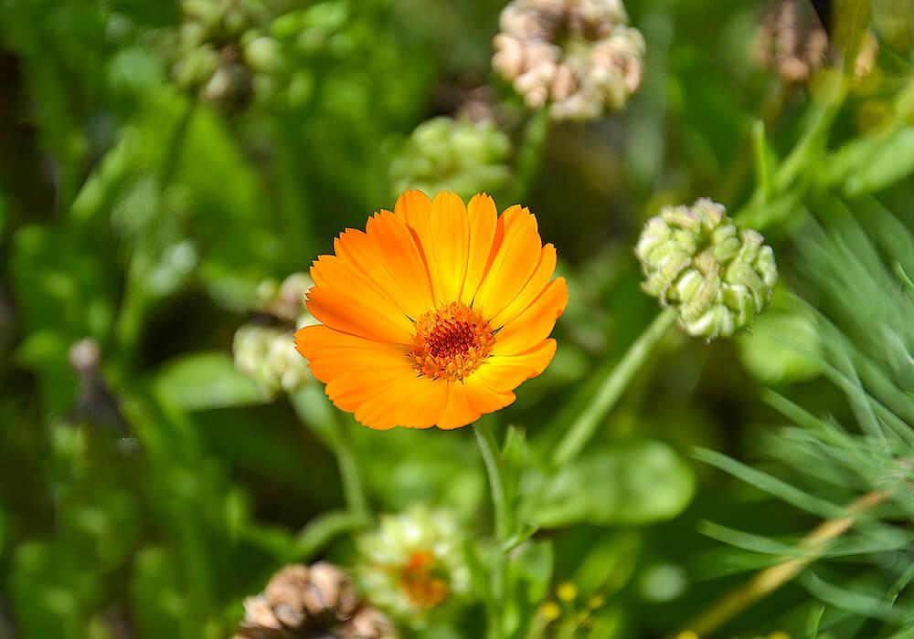 キンセンカの小さい花