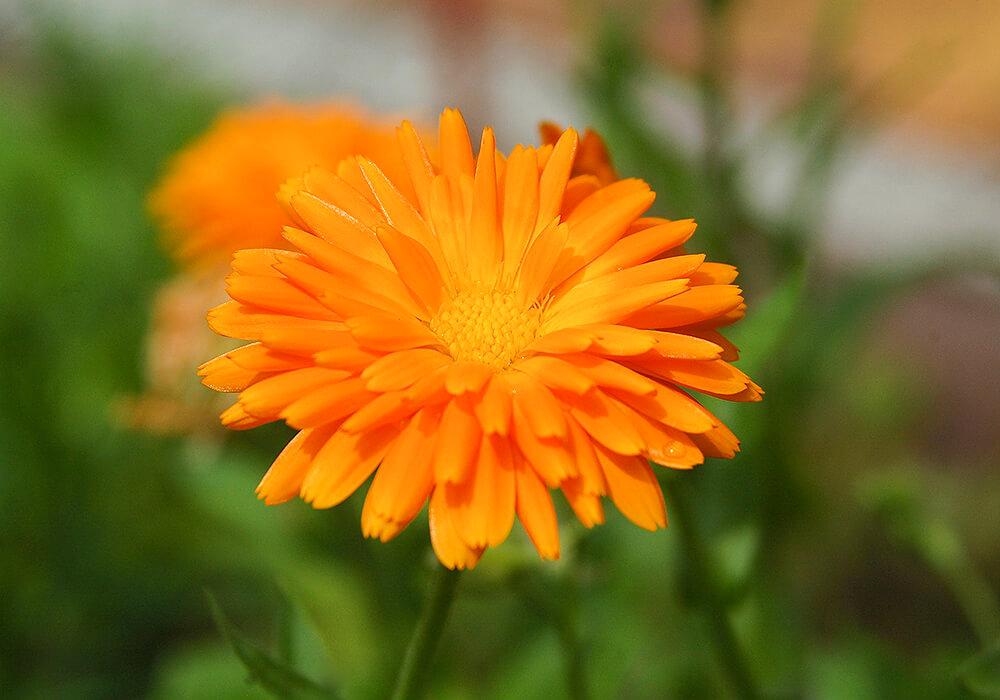 キンセンカのオレンジの花