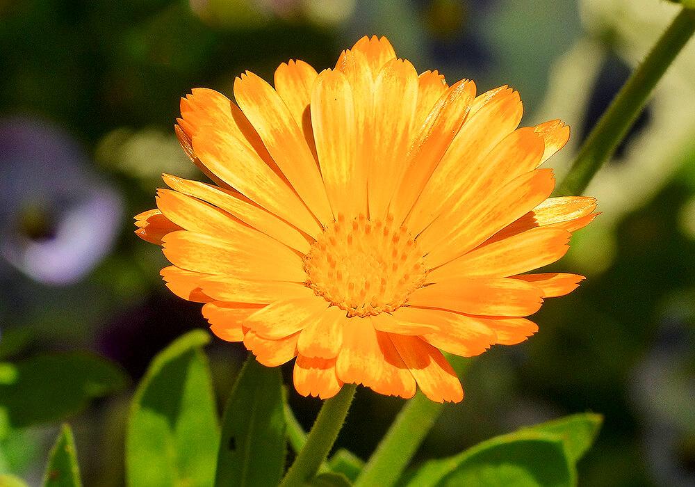 キンセンカの複色の花