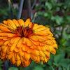 キンセンカの植物図鑑と育て方
