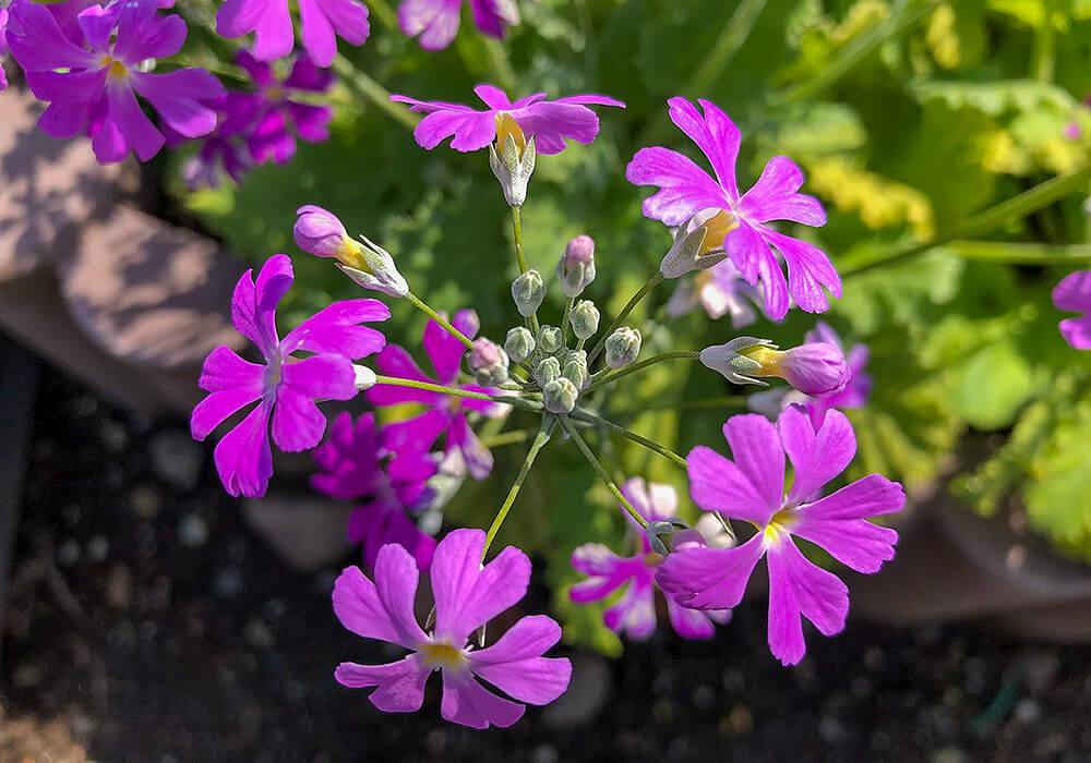プリムラマラコイデスの花の拡大