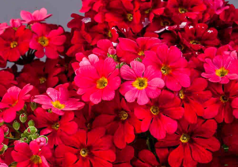プリムラマラコイデスの赤い花