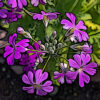 プリムラマラコイデスの植物図鑑と育て方