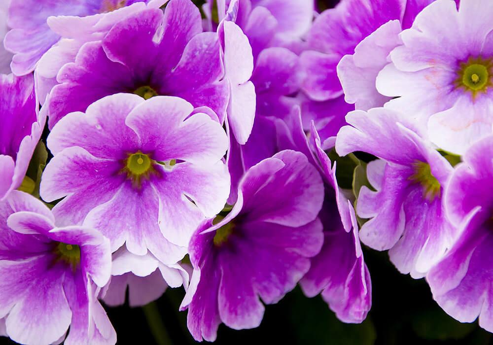 プリムラオブコニカの紫の花
