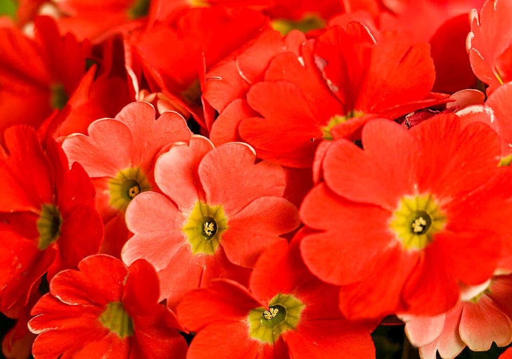 プリムラオブコニカの赤い花