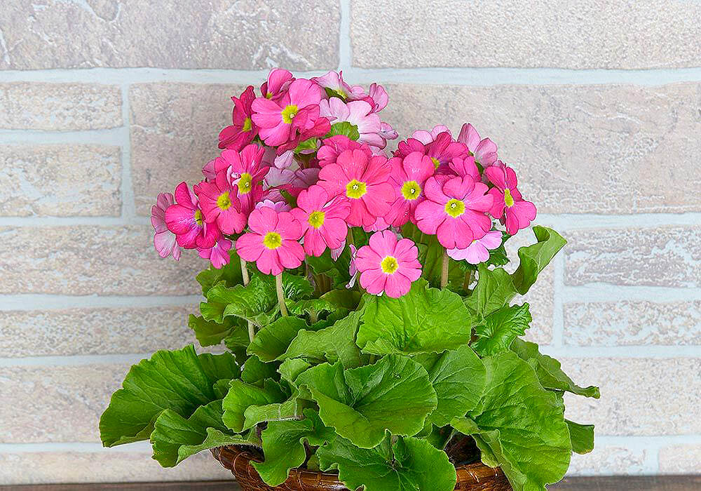 プリムラオブコニカのピンクの花