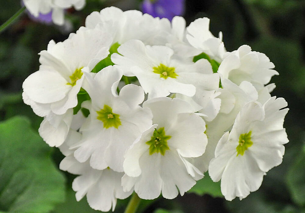 プリムラオブコニカの白い花