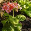 プリムラオブコニカの植物図鑑と育て方