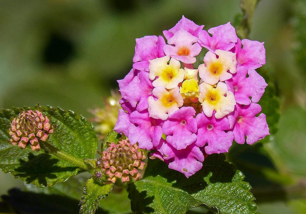 ランタナのピンクの花