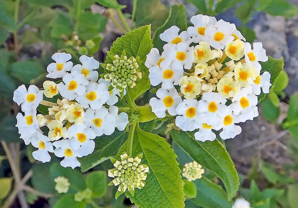 ランタナの白い花