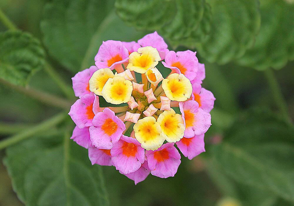 ランタナの花の拡大