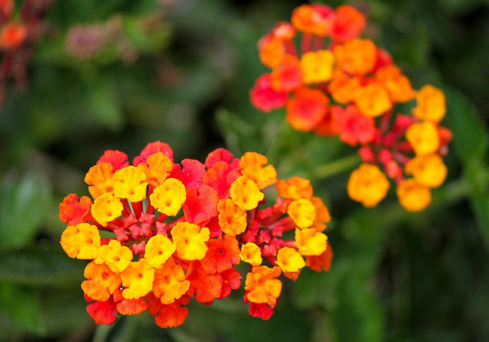 ランタナの赤い花