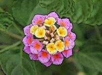 ランタナの植物図鑑と育て方