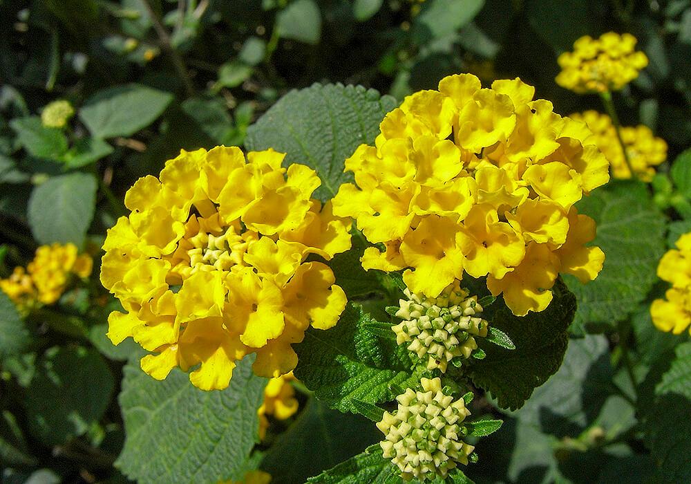 ランタナの黄色い花