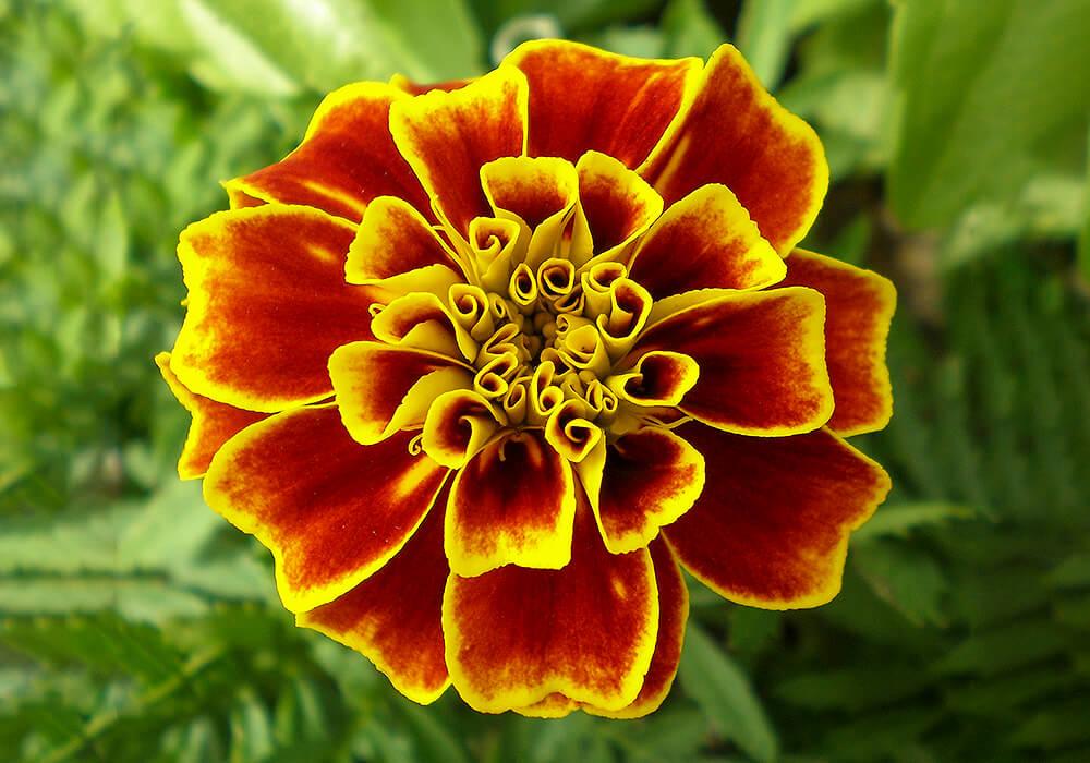 マリーゴールドの花の拡大