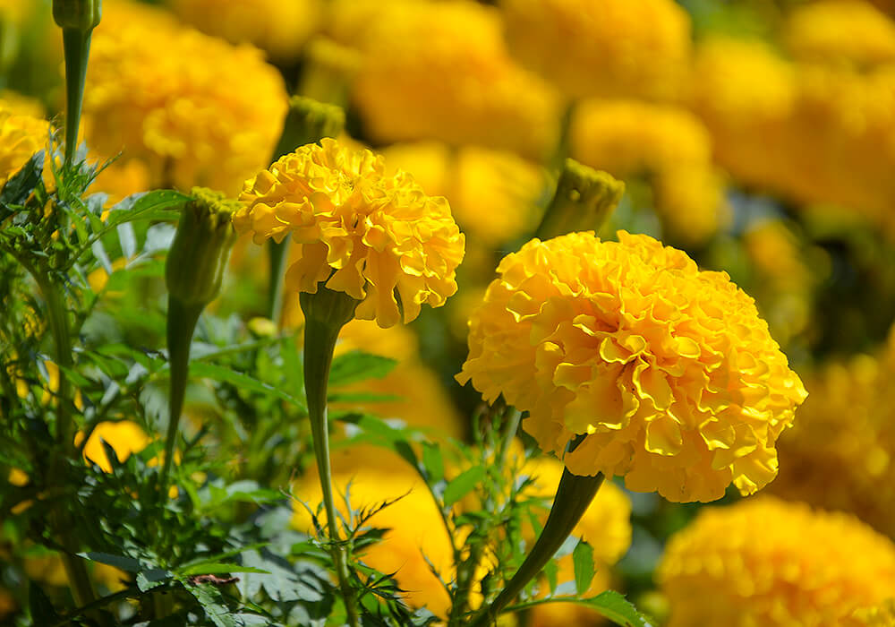 マリーゴールドの黄色い花