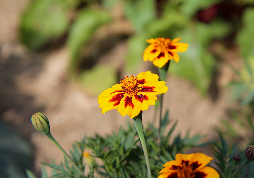 マリーゴールドの小さい花