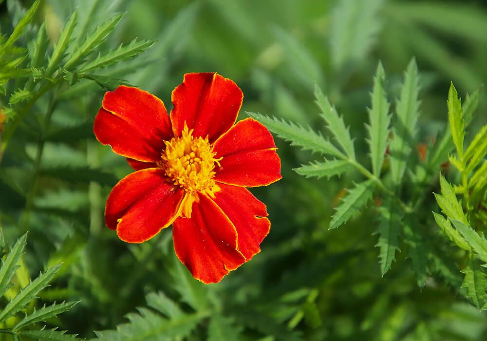 マリーゴールドの花と葉
