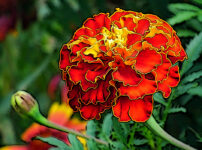 マリーゴールドの植物図鑑と育て方
