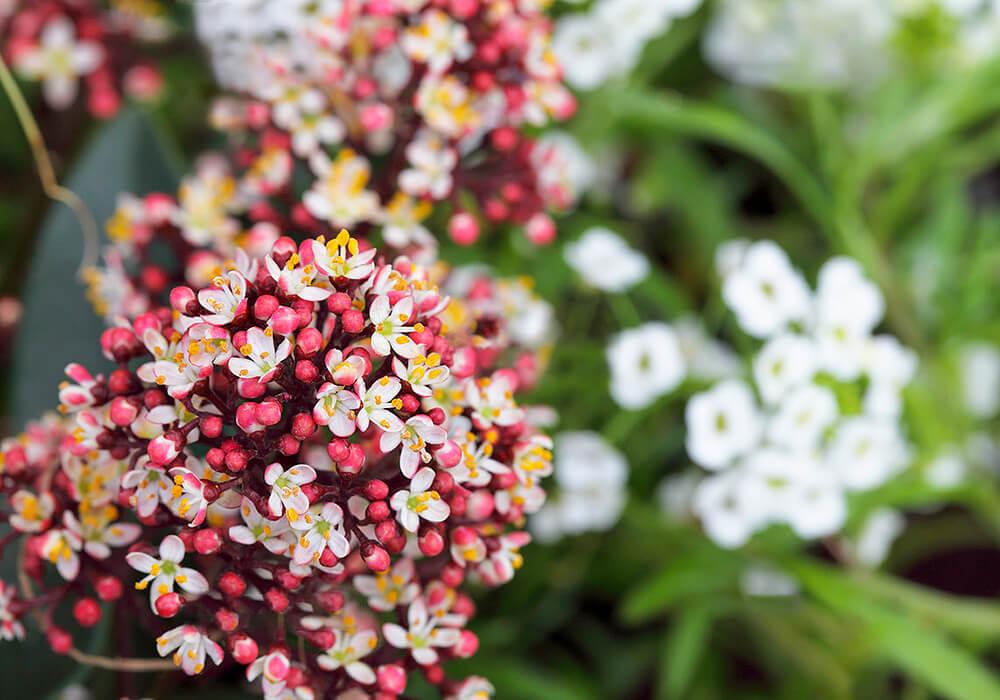 ミヤマシキミの花の拡大