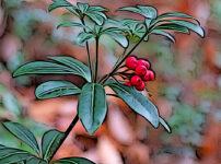 ミヤマシキミの植物図鑑と育て方