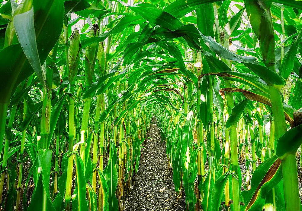 トウモロコシの畑