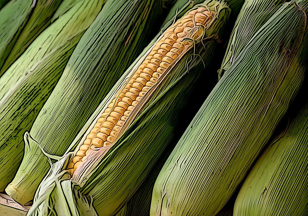 トウモロコシの植物図鑑と育て方