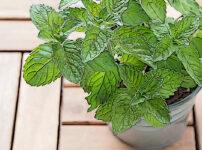 ペパーミントの植物図鑑と育て方