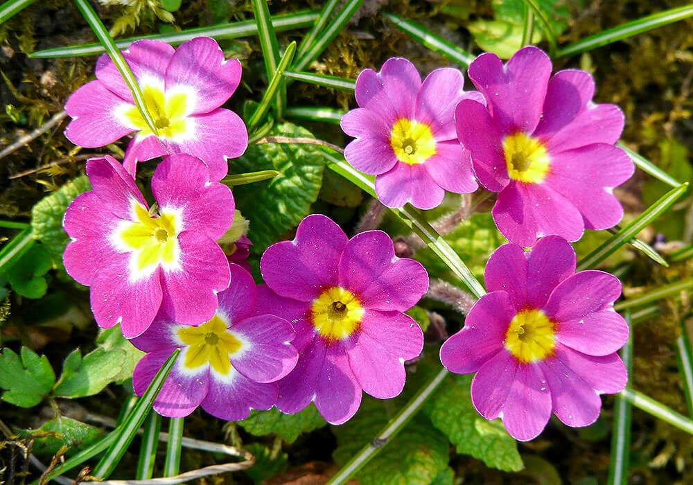 プリムラポリアンサの花