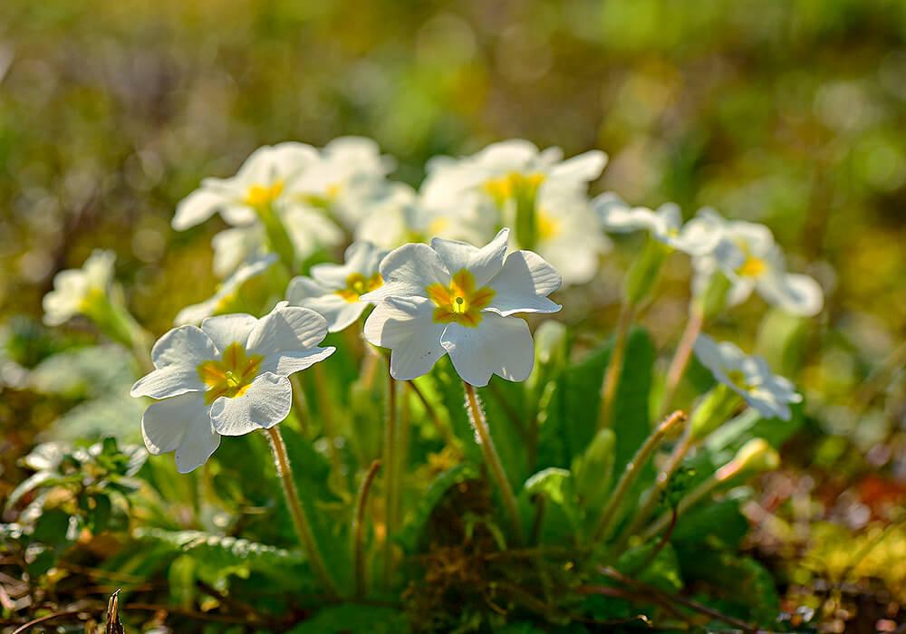 プリムラポリアンサの白い花