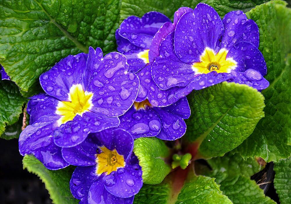 プリムラポリアンサの青い花