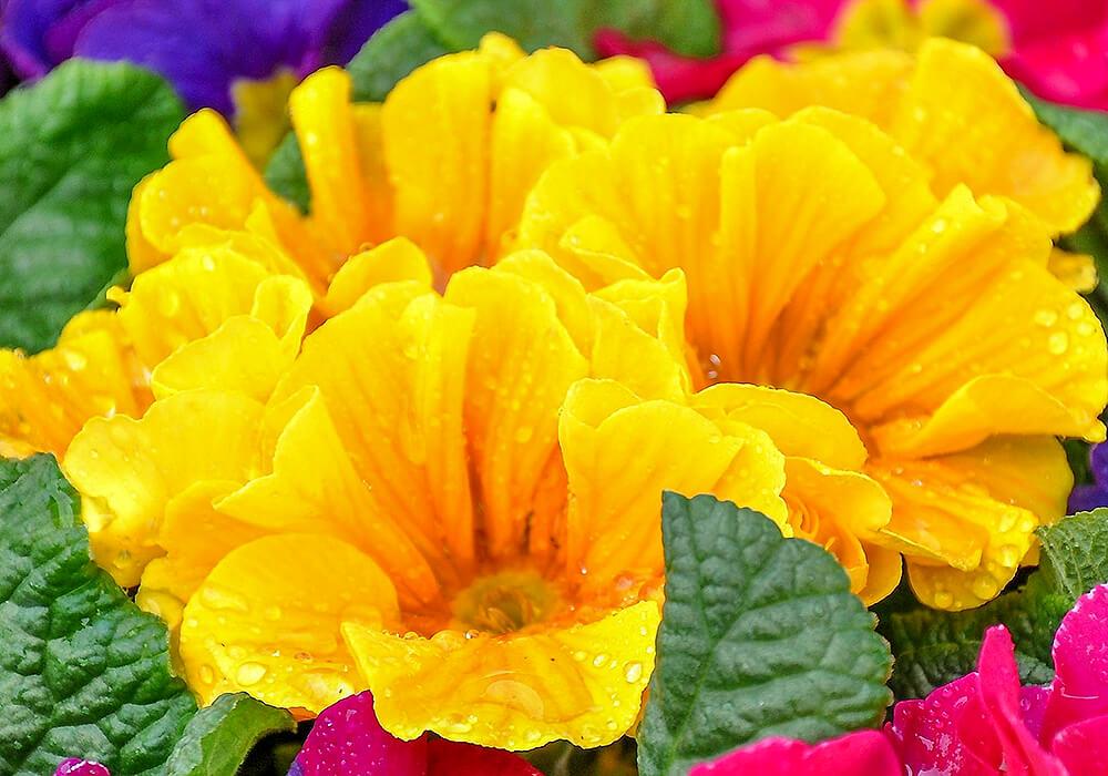 プリムラポリアンサの黄色い花
