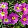 プリムラポリアンサの植物図鑑と育て方