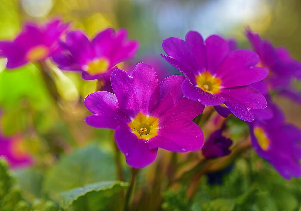 サクラソウの花の拡大