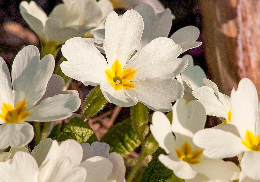 サクラソウの白い花