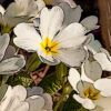 サクラソウの植物図鑑と育て方
